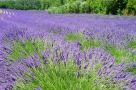 lavender-field-1595598_1920